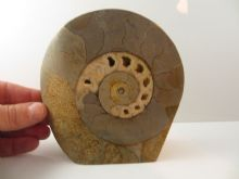 Large UK Cut/Polished ammonite with beautiful chambers